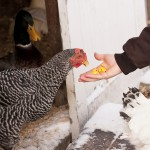 Prepping Your Chickens for Winter