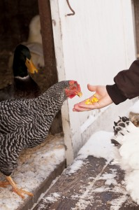 Backyard Chicken in Winter