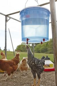 Poultry Fount in Chicken Yard
