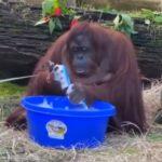 Sandra the Orangutan goes viral with her healthy habits!