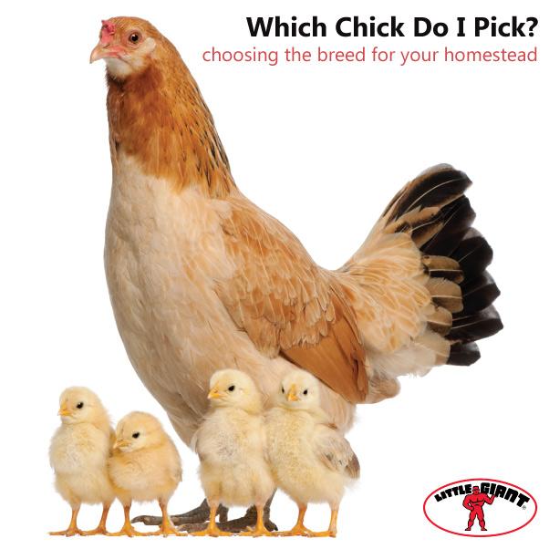 Little-Giant-Chicken-Breeds