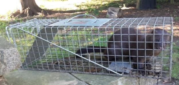 Mink in Live Trap