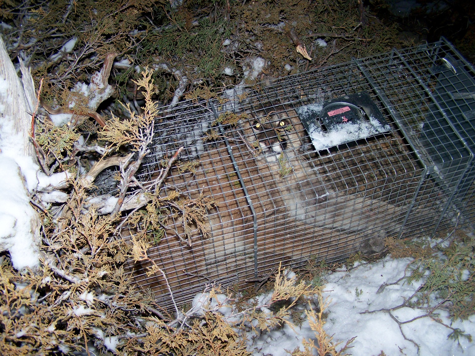One very surprised trapper caught a 90-lb. female mountain lion in his Little Giant LT5 trap.