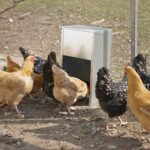 New Video: The Little Giant® Galvanized High Capacity Poultry Feeder