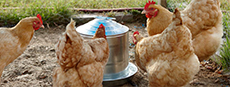 Galvanized Poultry